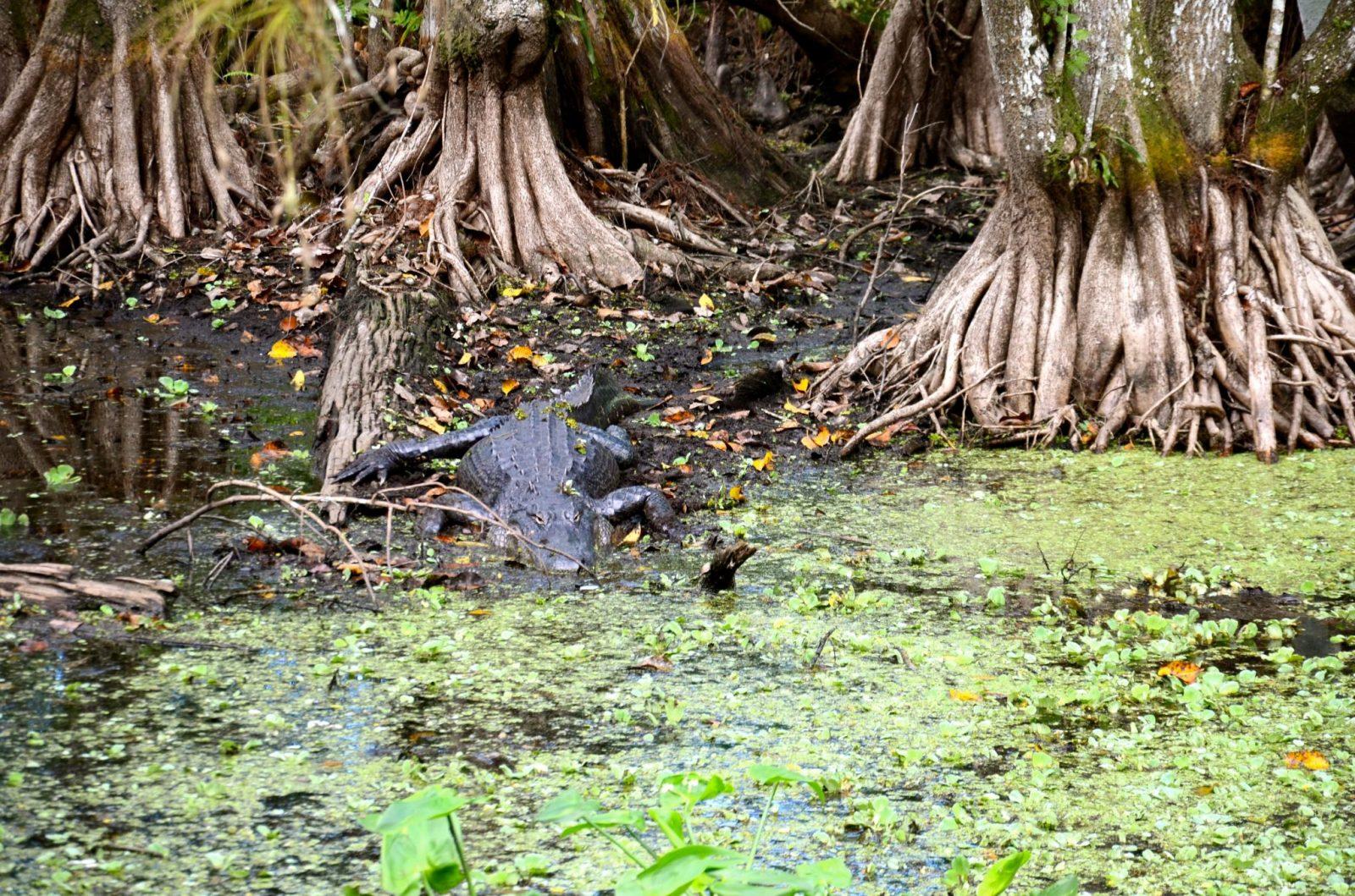 Alligator resting in Corkscrew Swamp Sanctuary in Naples Florida.