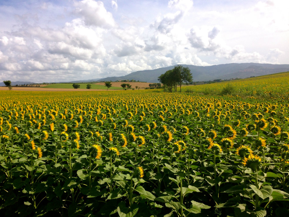 Sunflower fields in Tuscany