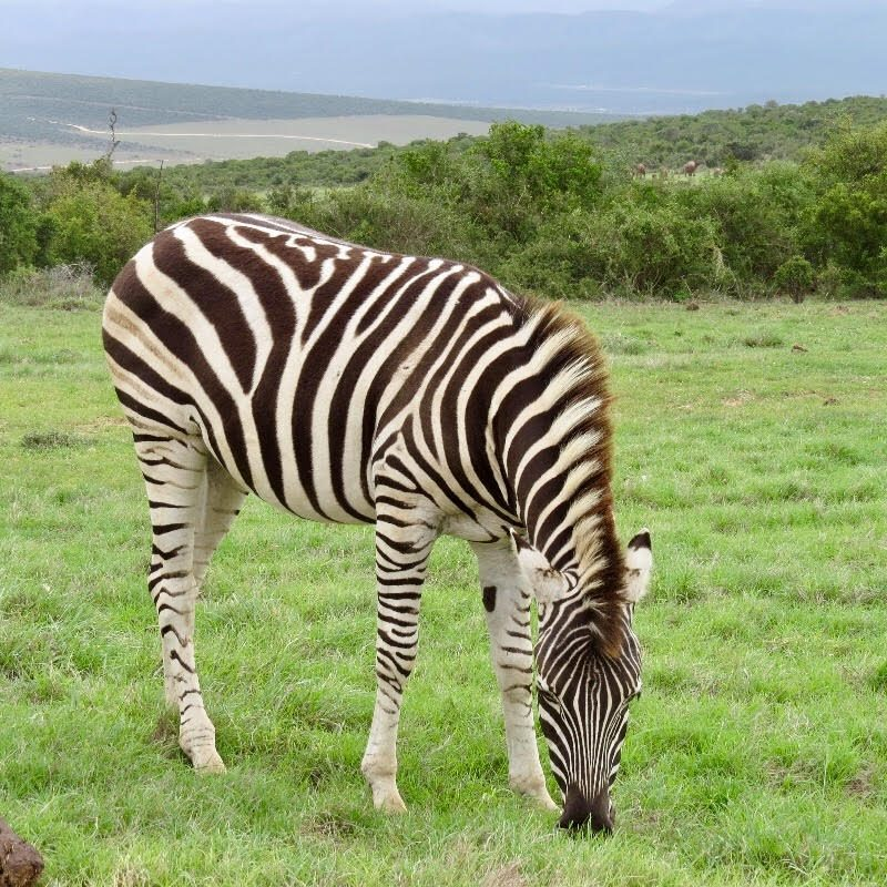 Zebra watching at safari in South Africa