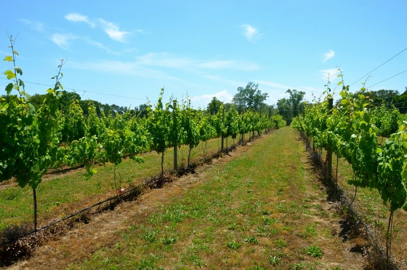 Exploring the wine vineyards of Willow Creek Winery in Cape May, New Jersey.