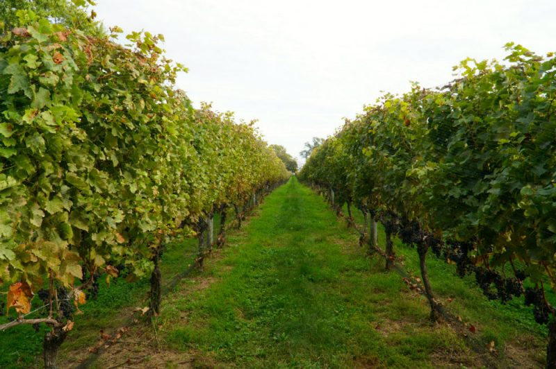 Wine vineyards in the North Fork, Long Island